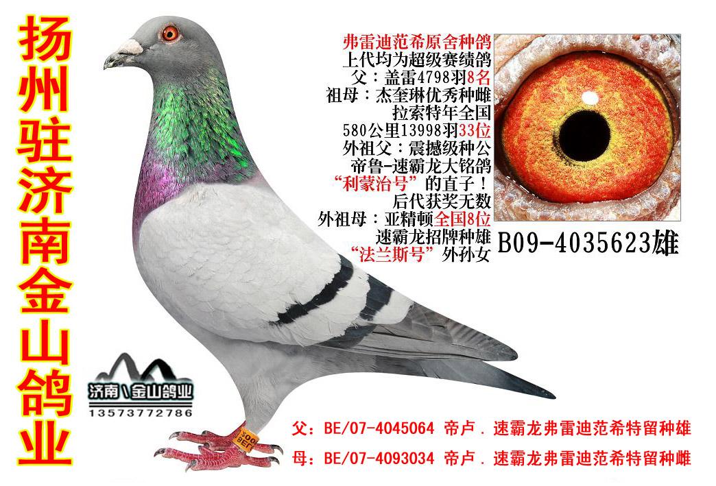 信鸽在线拍卖平台 -速霸龙多重近亲回血鸽图片