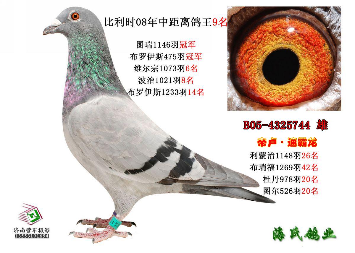 信鸽在线拍卖平台 -速霸龙 鸽王9位图片