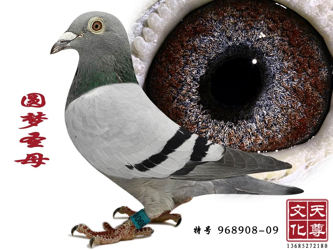 该鸽辈份极高,一双犀利的眼睛结构,一旦拥有他会帮你出一大堆的好鸽子