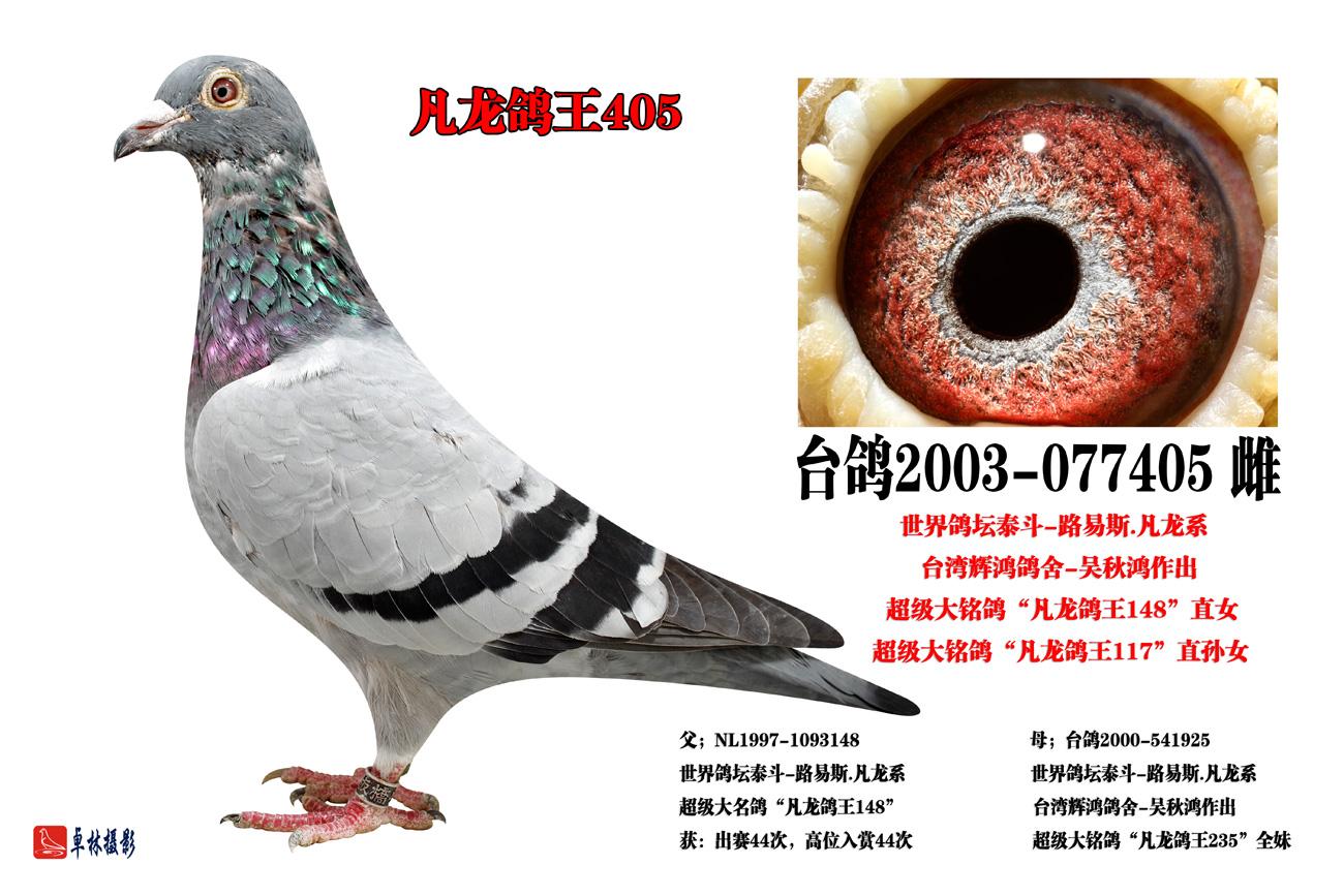 (6)凡龙鸽王405 保证金级 拍卖