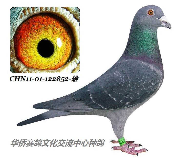 黑雨点信鸽黑雨点鸽子-1 凡王路易杨阿腾系CHN11 01 122852 雄 保证图片