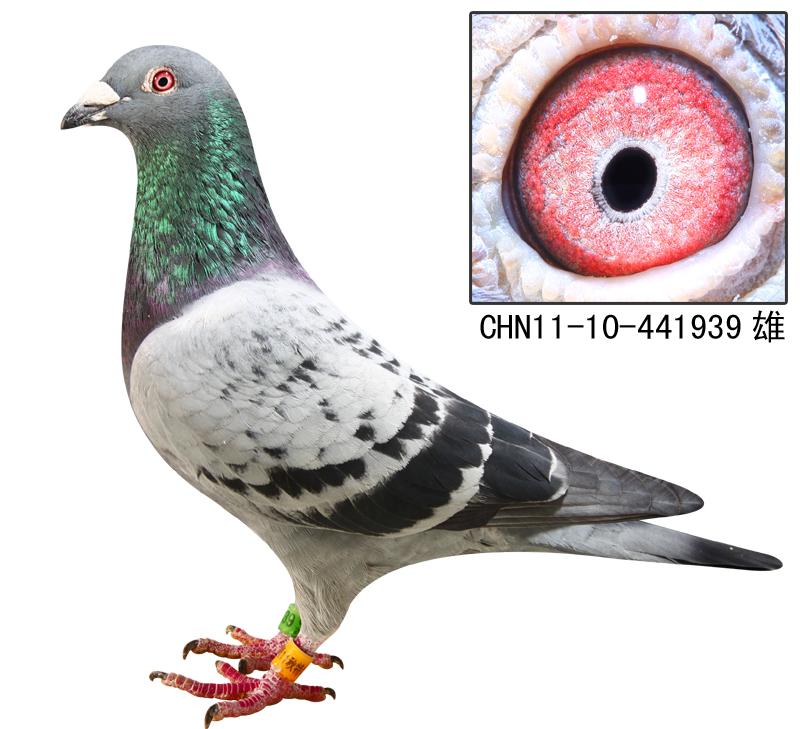 环号是:11-22-408632由欧亚种鸽克拉克配詹森作出,福建晓翔鸽舍获得