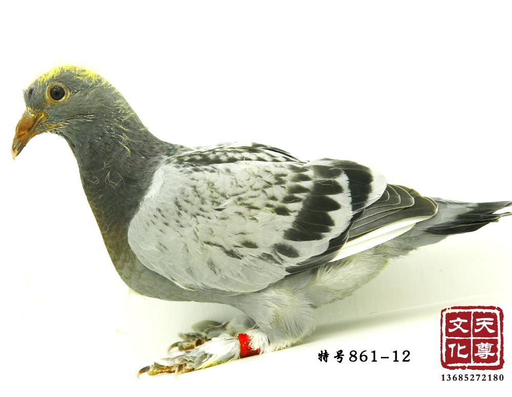 拍卖平台 - 中国信鸽信息网图片