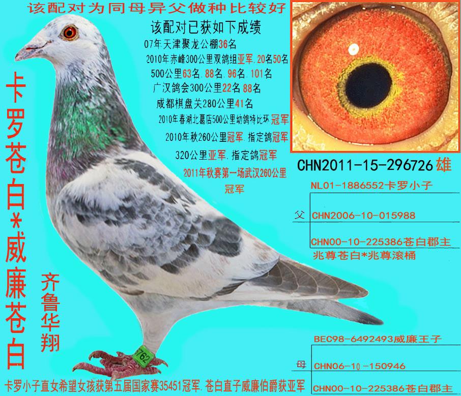 信鸽雨点白条图片图片下载分享;