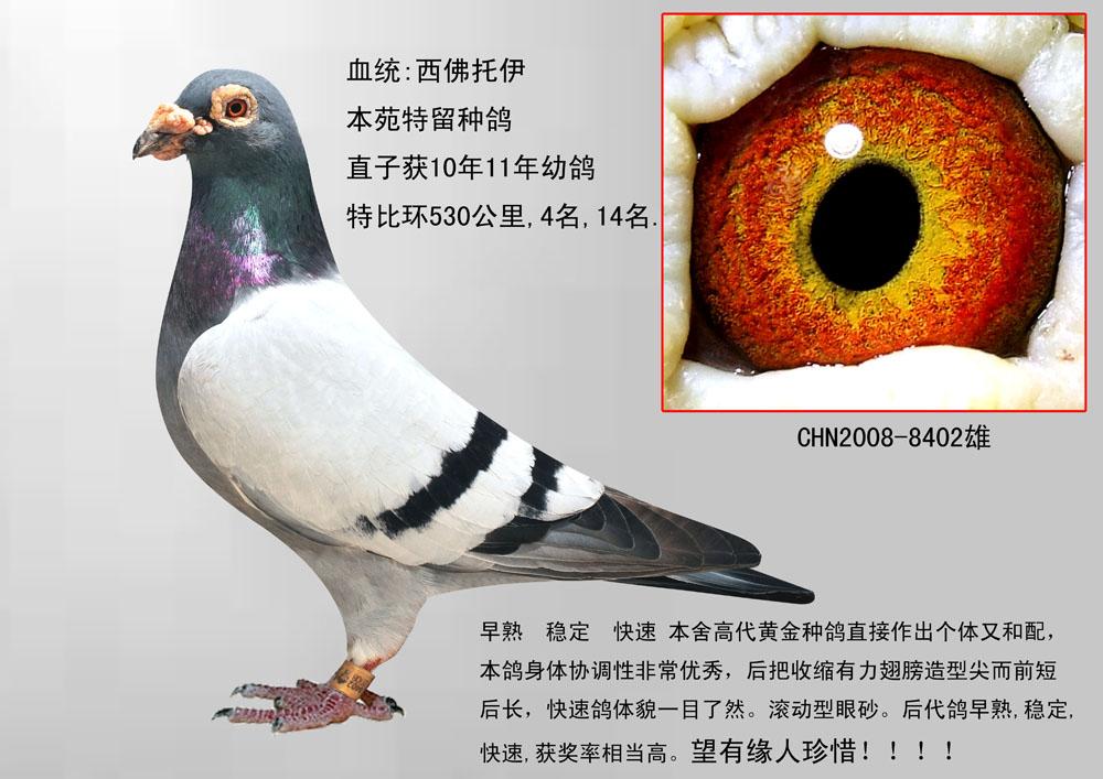 该鸽特点: 骨骼强劲,肌肉柔软,后腰圆滑,主羽破风有力,结构紧凑,手感