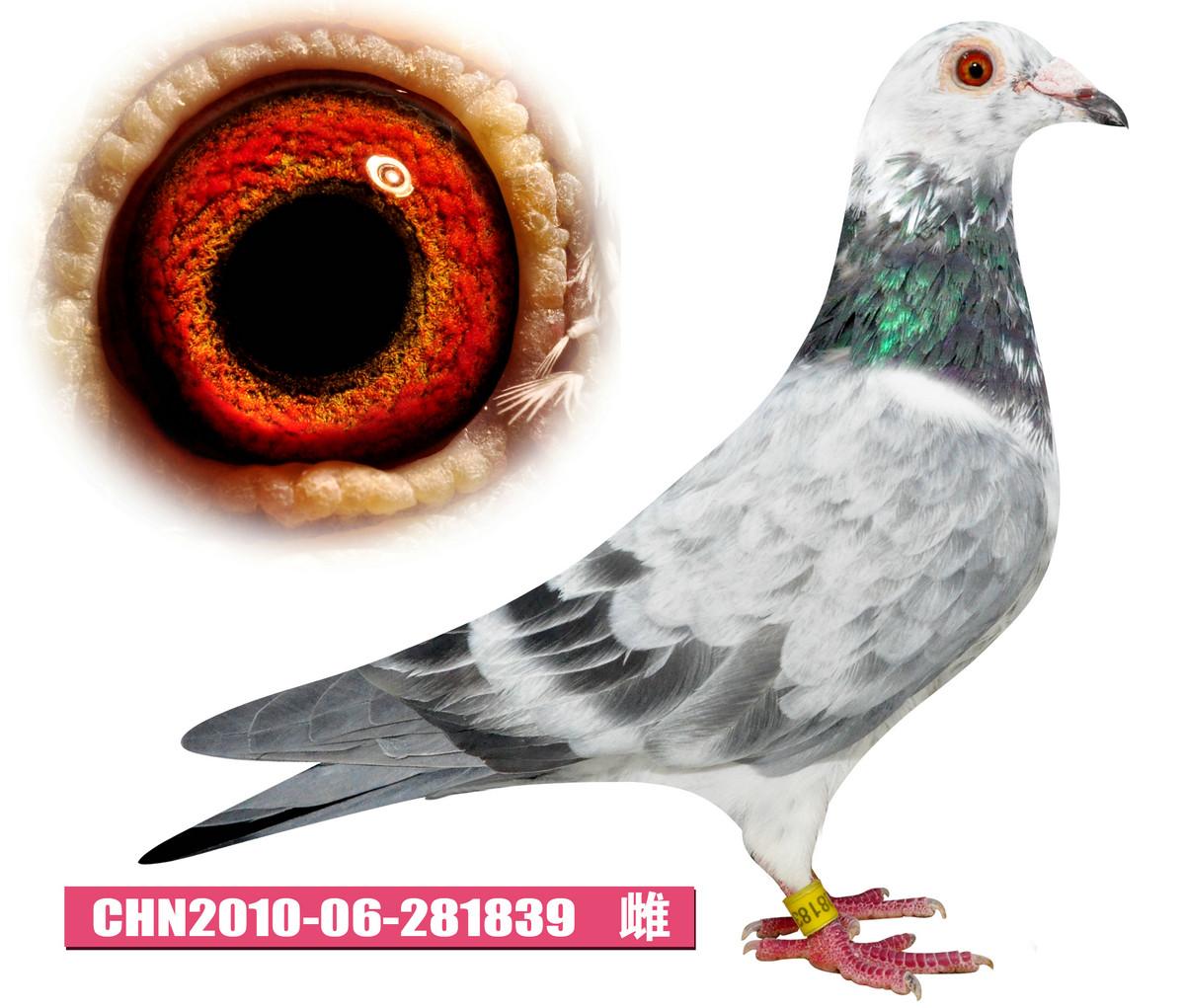 动物 鸽 鸽子 教学图示 鸟 鸟类 1200_1021
