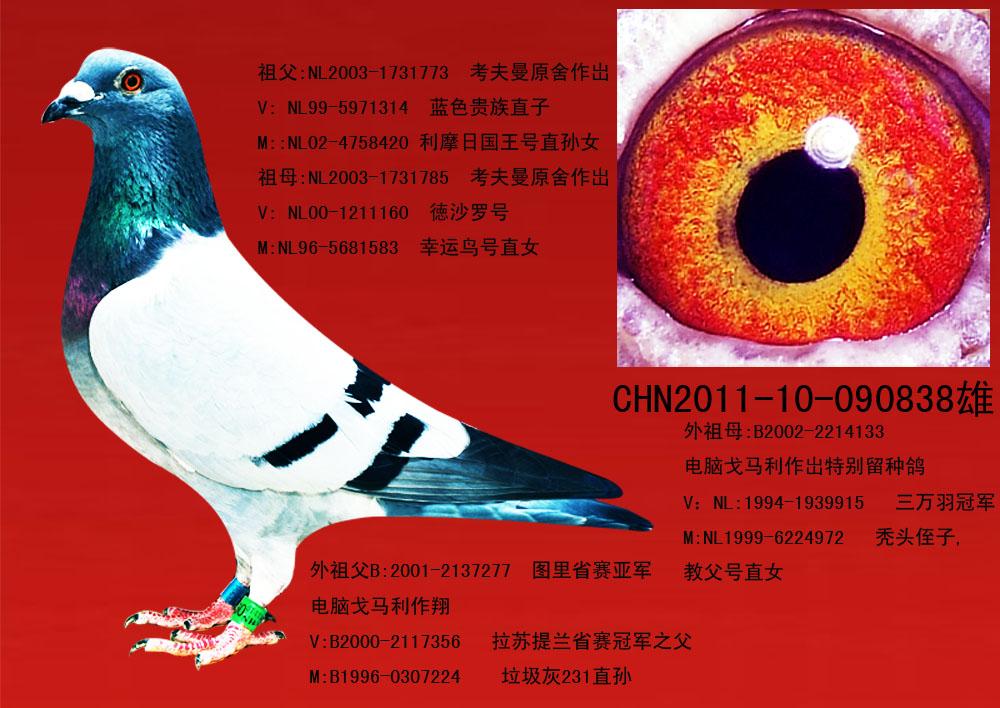该鸽特点: 本鸽耻骨紧合,骨架硬朗,身体强壮,骨骼坚实.