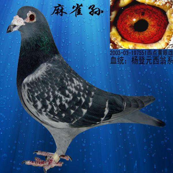 信鸽在线拍卖平台 -杨登元西翁老麻雀极度近亲曾孙