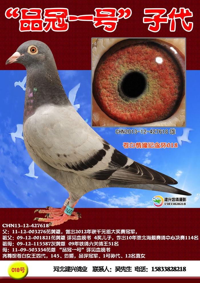 84 190墨雨点花头白条CRPA97 623176是什么血统的鸽子图片