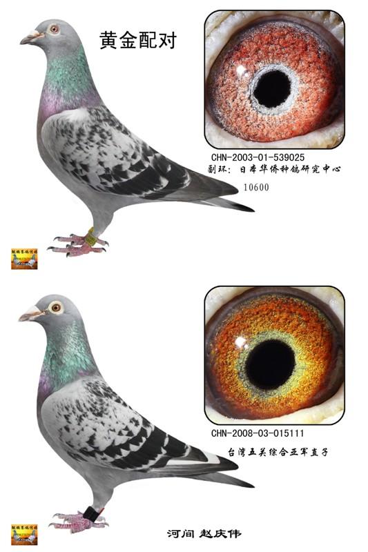 尼尔森信鸽血统 信鸽血统图片 信鸽詹森血统特征