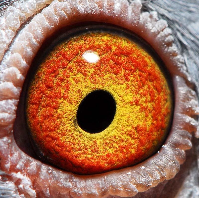 信鸽眼砂 信鸽眼砂好坏鉴别图 少见的信鸽眼砂图片