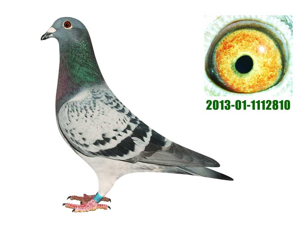 2013-01-1112810雄北京红志鸽舍威廉迪布恩/山