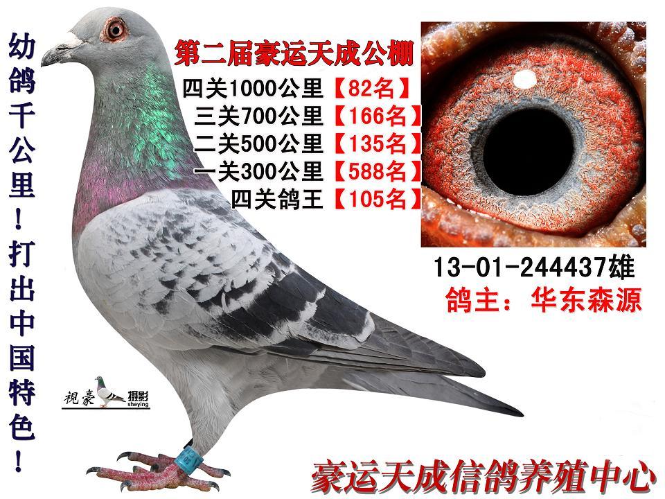 千公里决赛82名鸽王105名华东森源 保证金级 拍卖