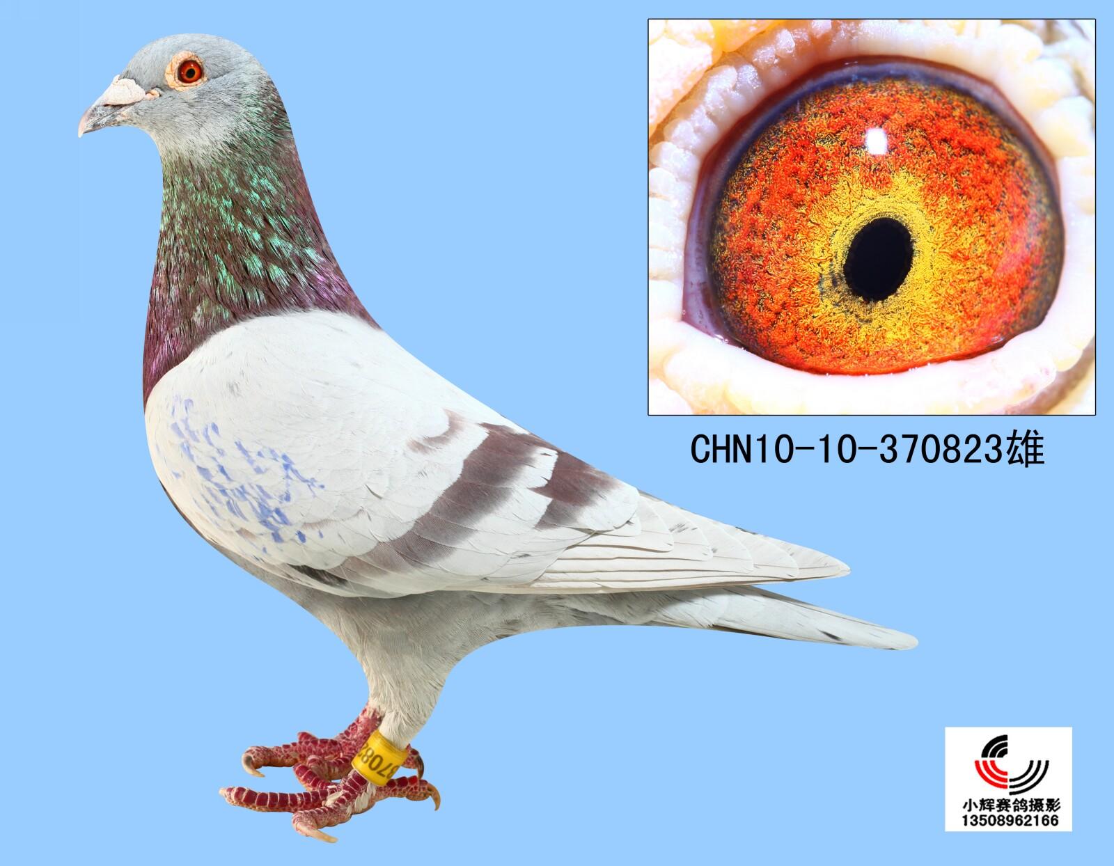 欧亚种鸽中心图片