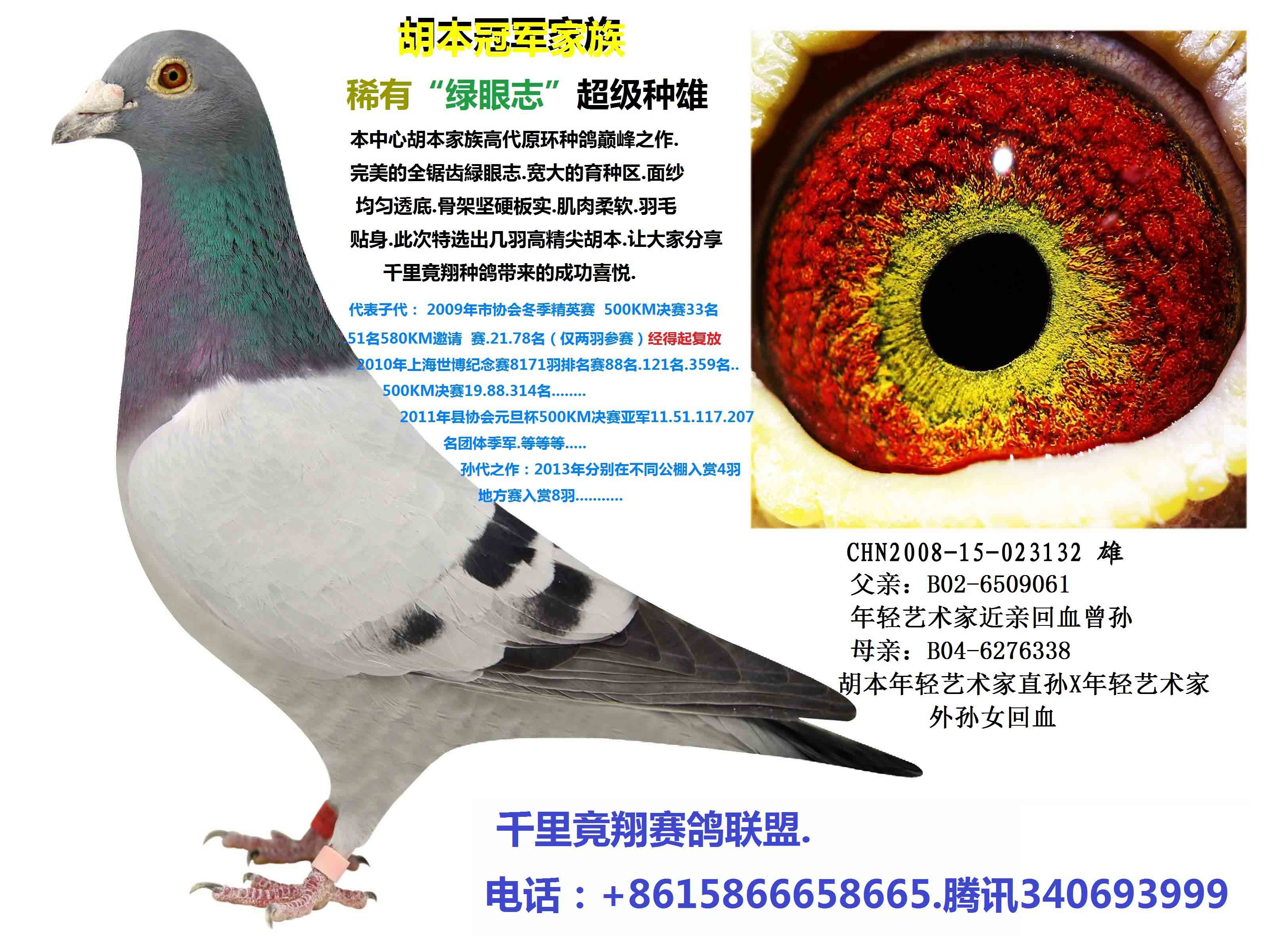 种鸽绿眼志配对图片