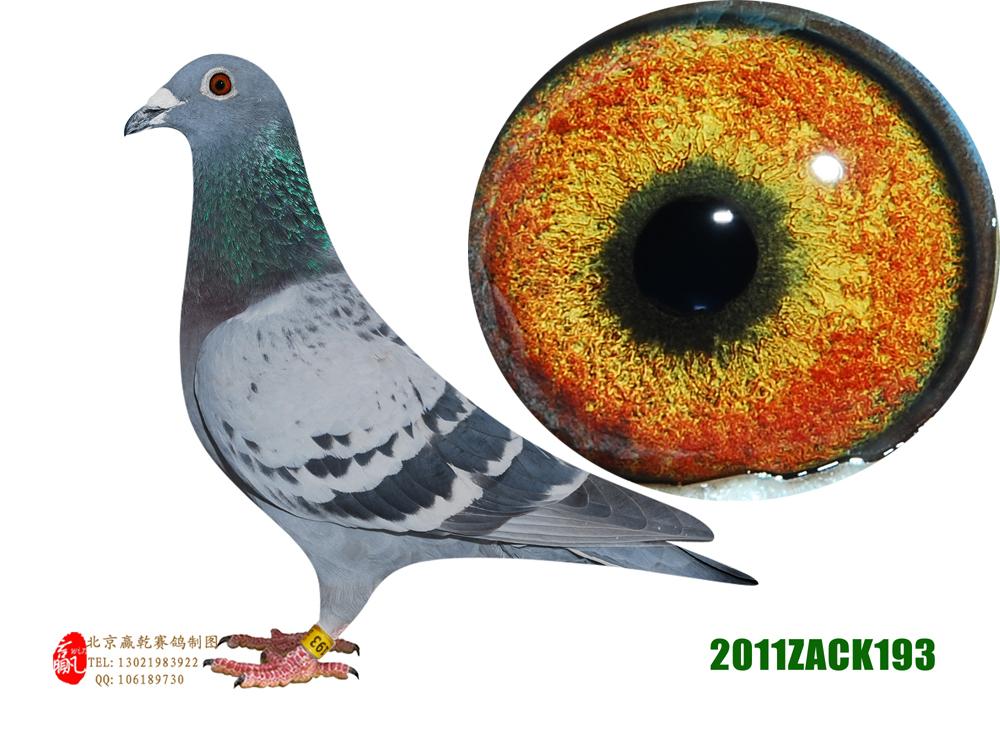 中国最好信鸽公棚-最适合赛鸽的鸽棚图片_王大亮老_年