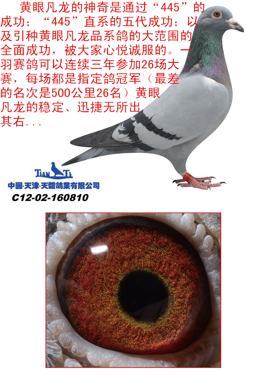 """445""""眼砂结构和色彩)这与父母鸽的完美关系密切"""