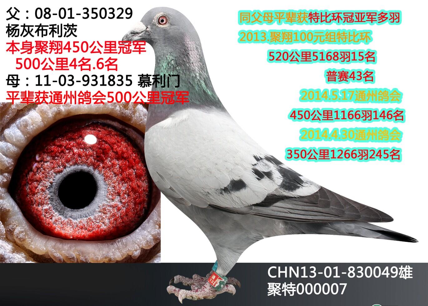 北京信鸽特比詹森图片