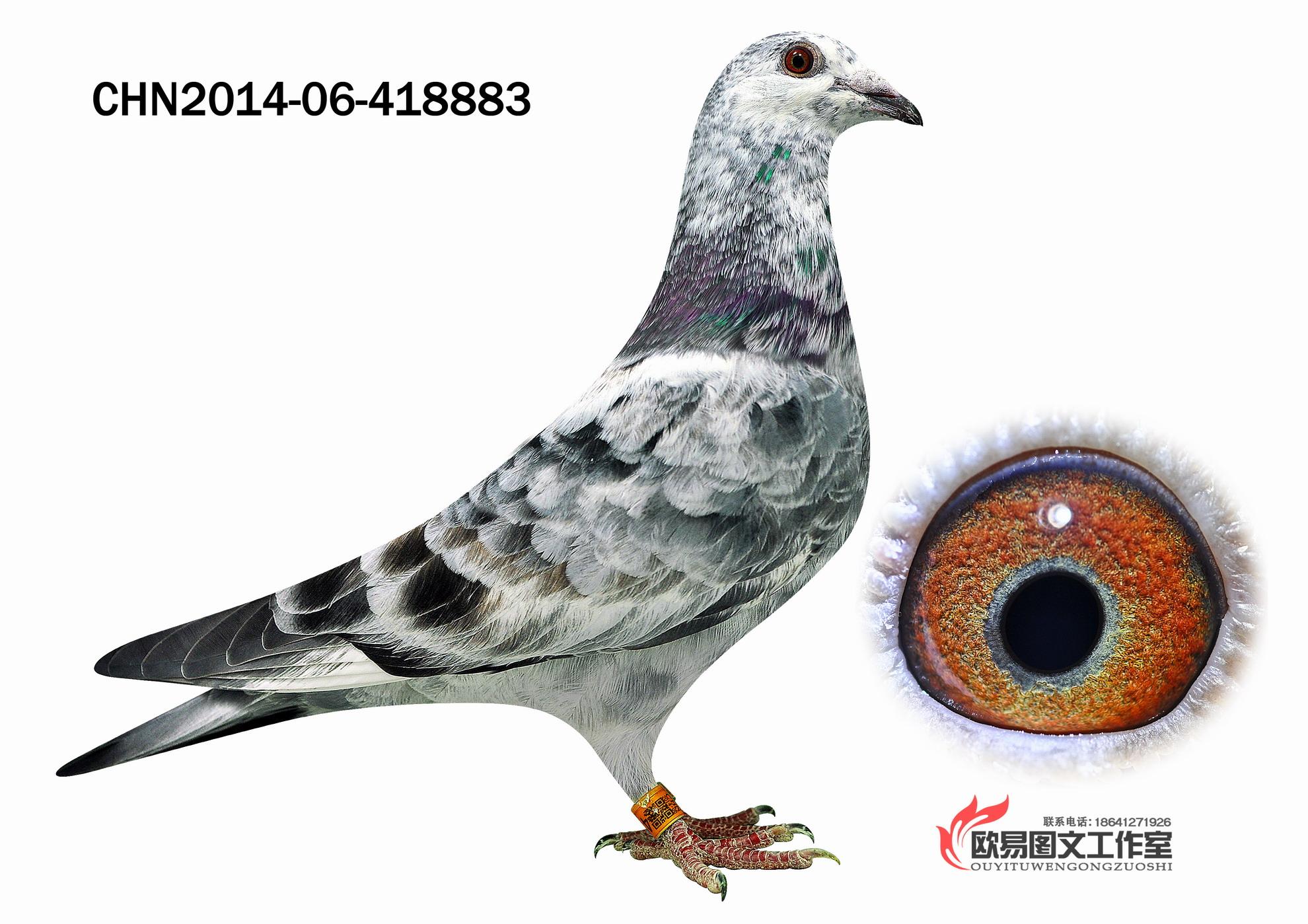 动物 鸽 鸽子 教学图示 鸟 鸟类 1980_1399