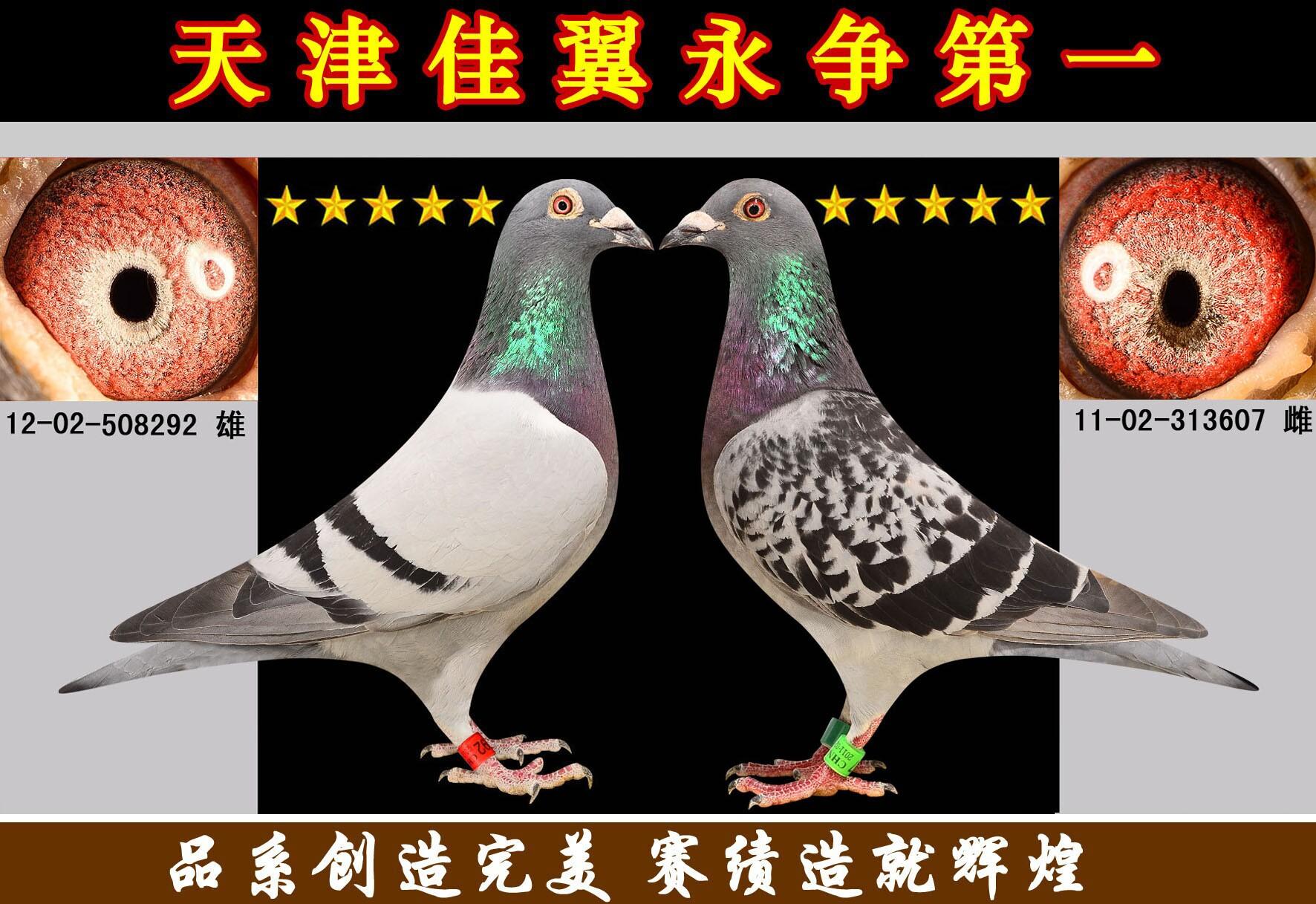 世界名家配对赛鸽图片