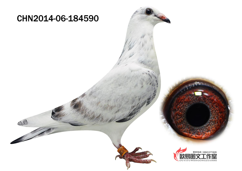 动物 鸽 鸽子 鸟 鸟类 1500_1060