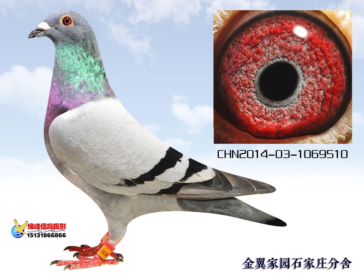 图解信鸽眼睛结构