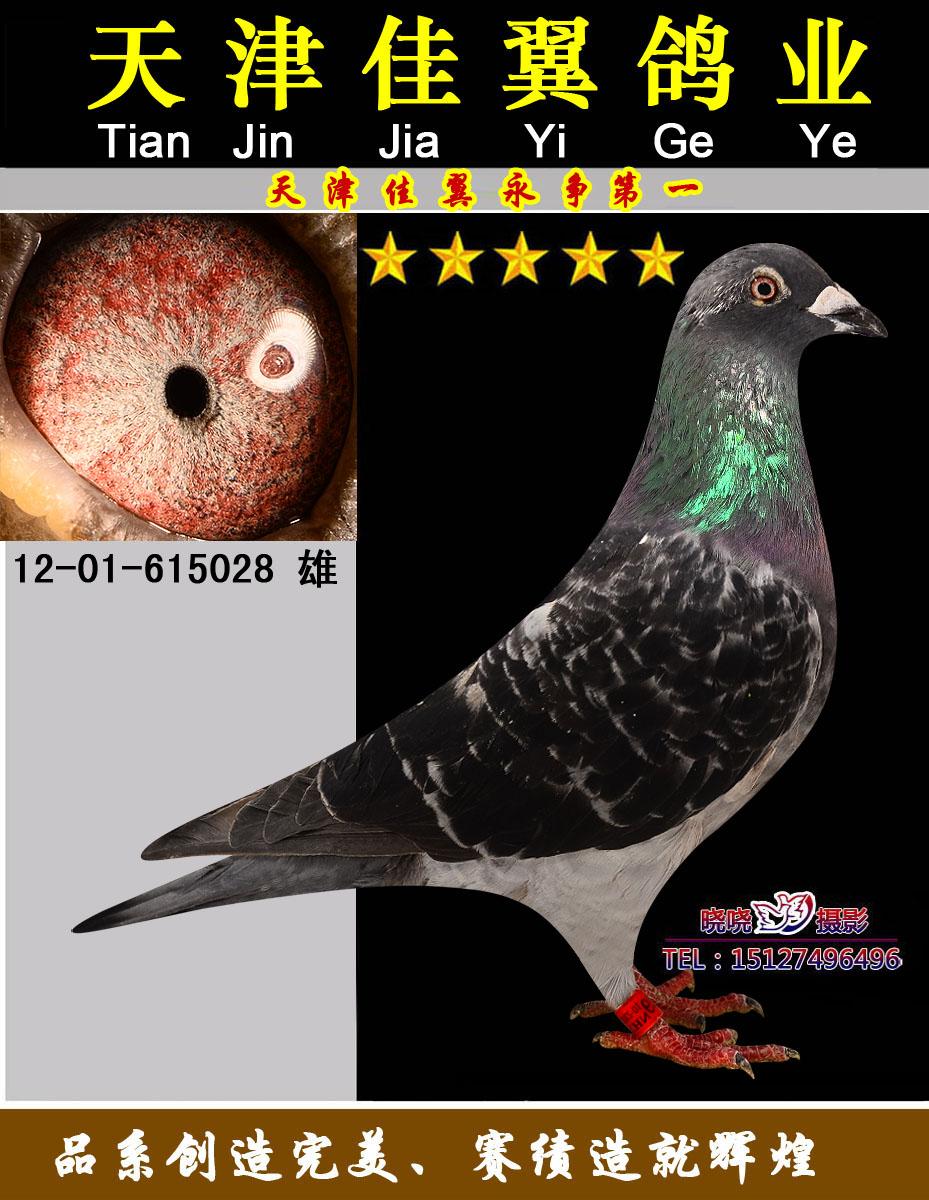 信鸽球虫的粪便图片