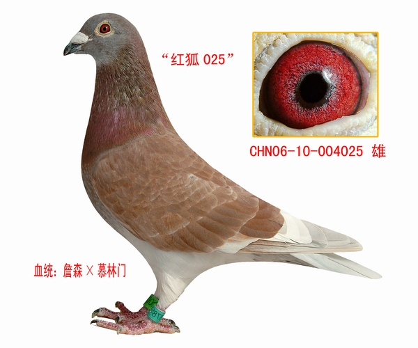 信鸽血统品种图片-江苏戴田种赛鸽在线拍鸽
