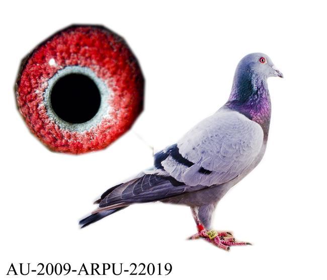 此鸽来自詹森原棚019,克拉克和霍夫肯原棚鸽(与:au-2009-arpu