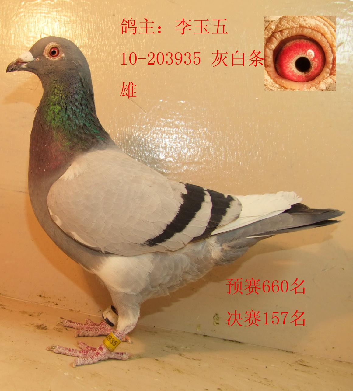 简笔画动物信鸽