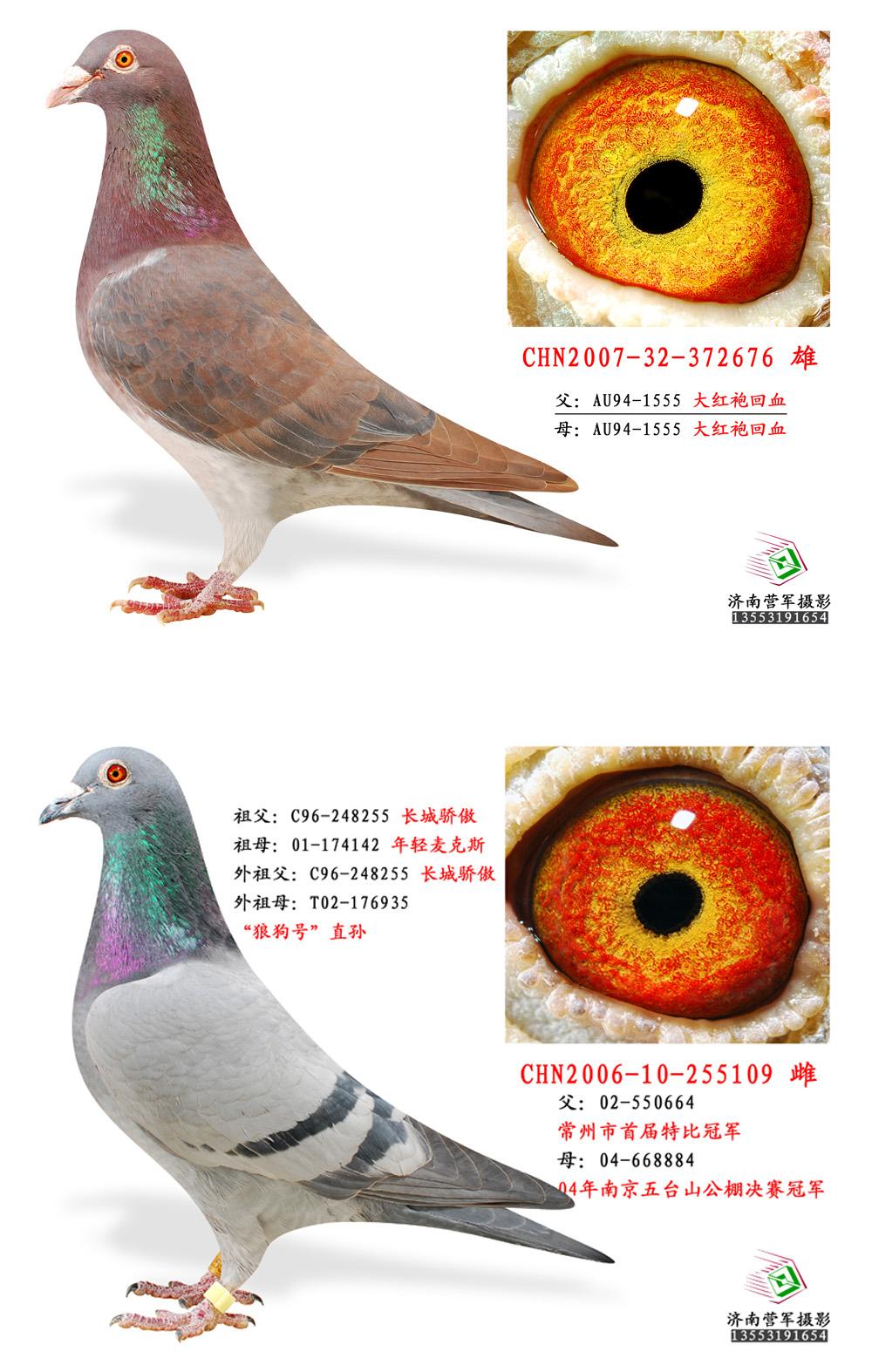 大红袍 狼狗号 保证金级 拍卖 -信鸽在线拍卖平台 - 中国信鸽信息网