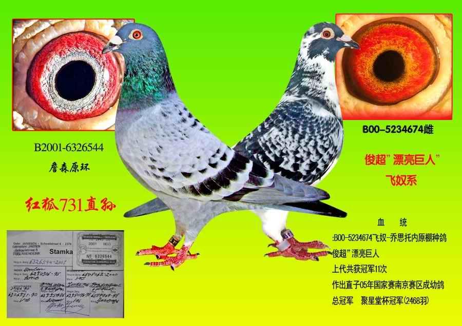广州信鸽眼志; 飞奴x詹森红狐731