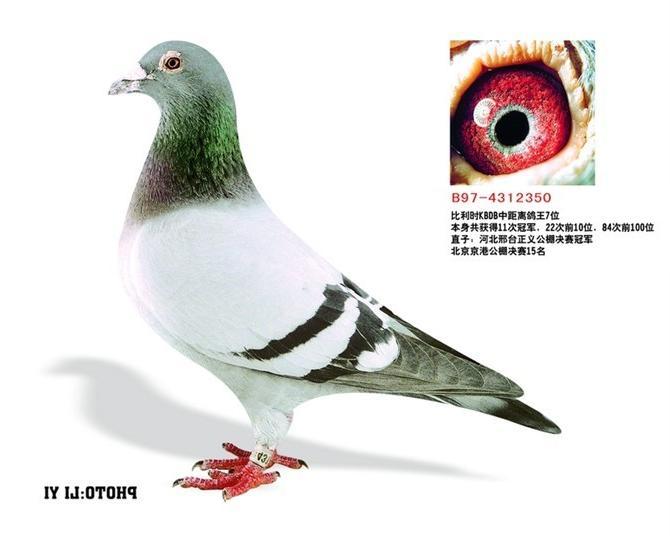 蜜蜂鸽动物鸽子图示鸟教学670_536照片刺鸟类图片