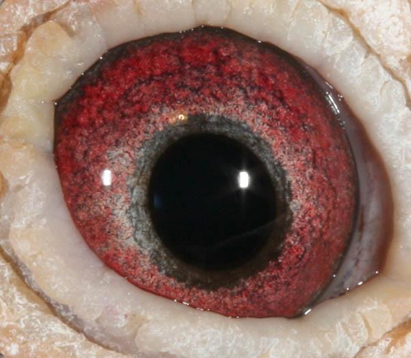 赛鸽的眼睛的结构图片