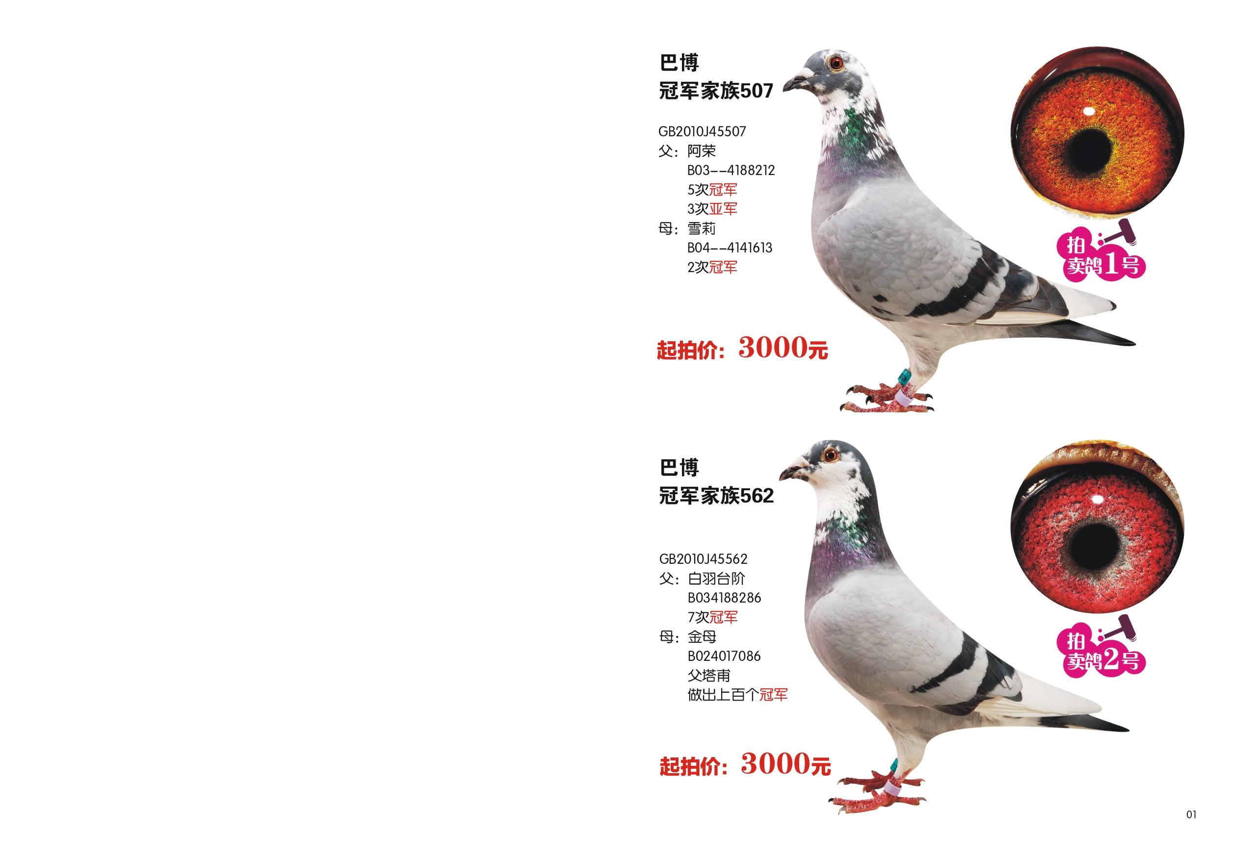 信鸽特征-巴博冠军家族01 邓文敏鸽舍