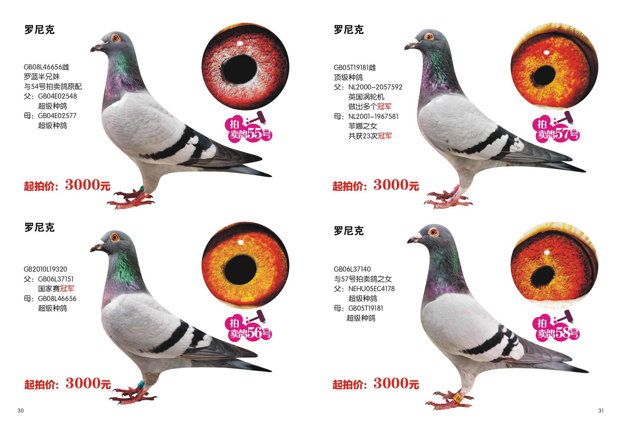 信鸽特征-罗尼克30 31 邓文敏鸽舍