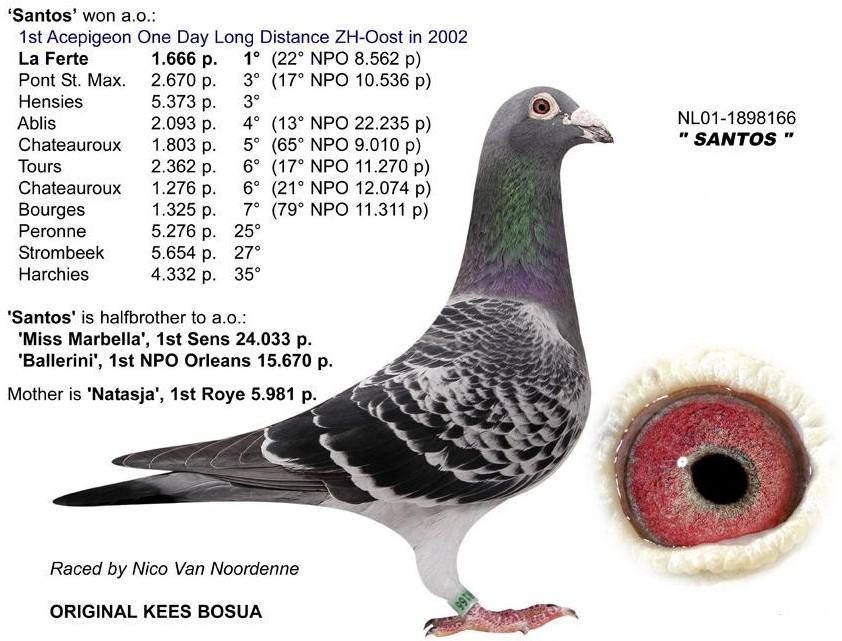 波西瓦超级纪录鸽 萨托斯