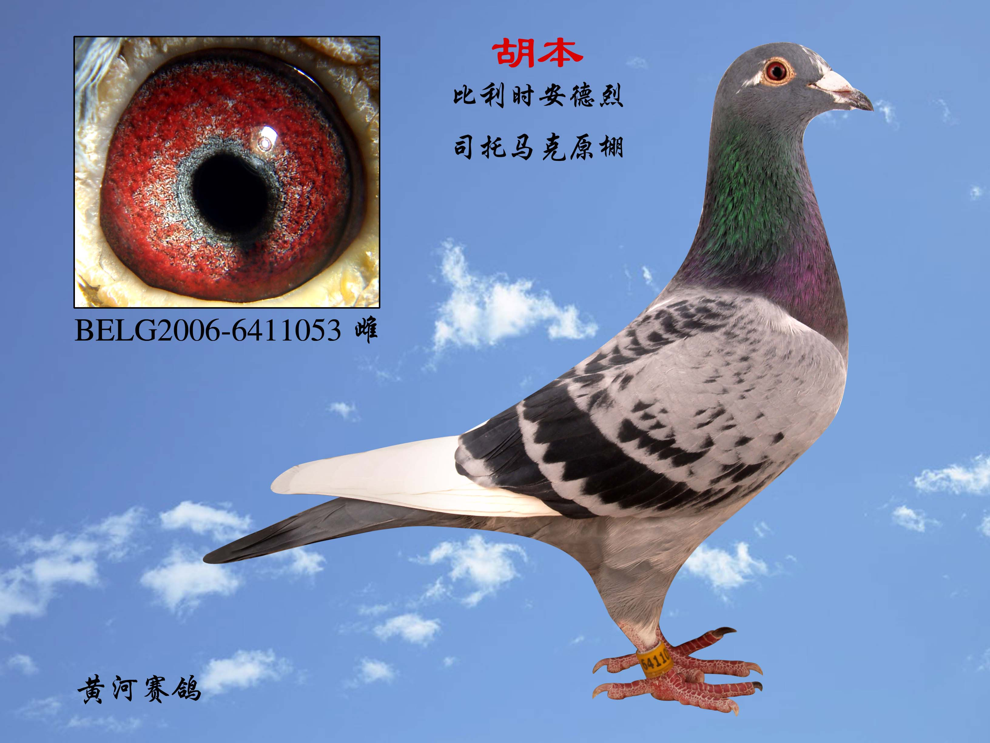 相关图片 信鸽特征 鸽名: 胡本-胡本信鸽眼睛图片图片大全 胡本原环