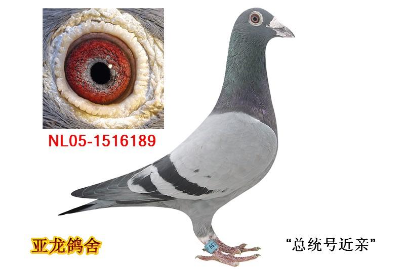 N.P.O 冠军鸽:总统号近亲_亚龙鸽业_ ag188