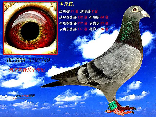 信鸽眼睛黄金配对图片 冠军信鸽眼睛配对图片 苍白骑士信