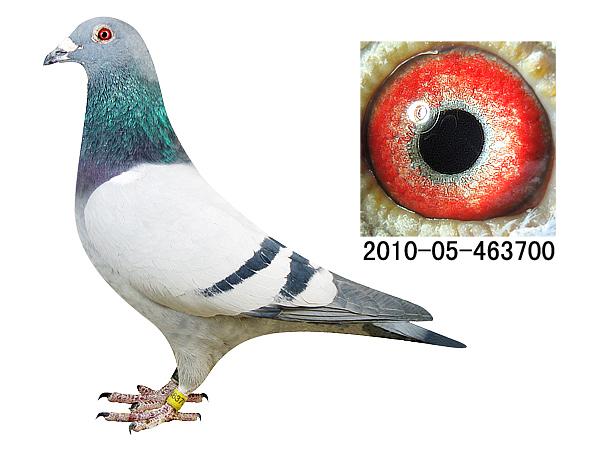 信鸽特征-电脑最爱直子700