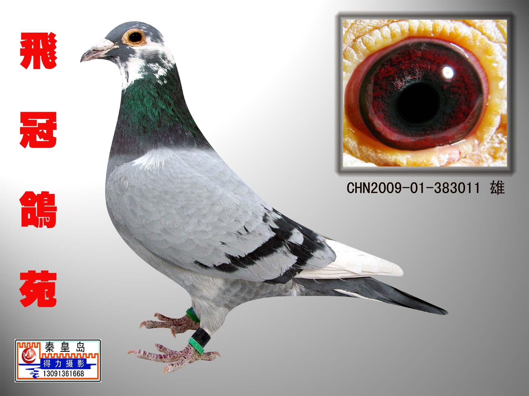 信鸽特征-王牌电脑戈马利