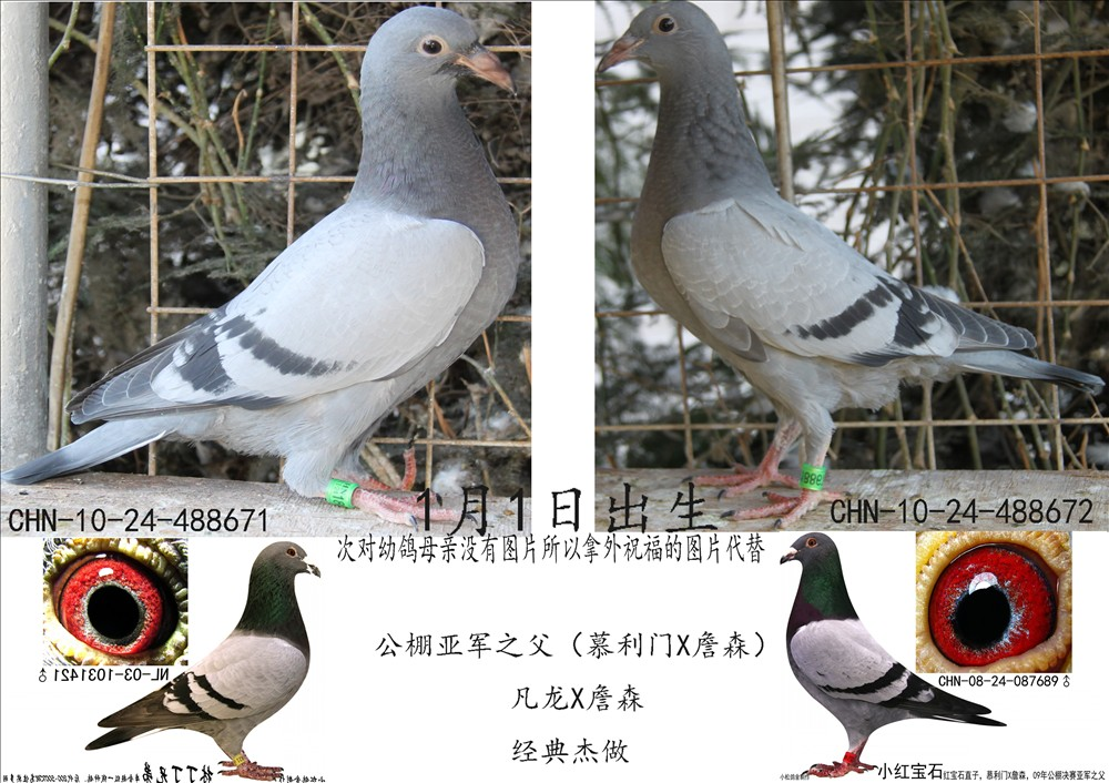 信鸽特征-凡龙X詹森 昆明经典慕利门家族
