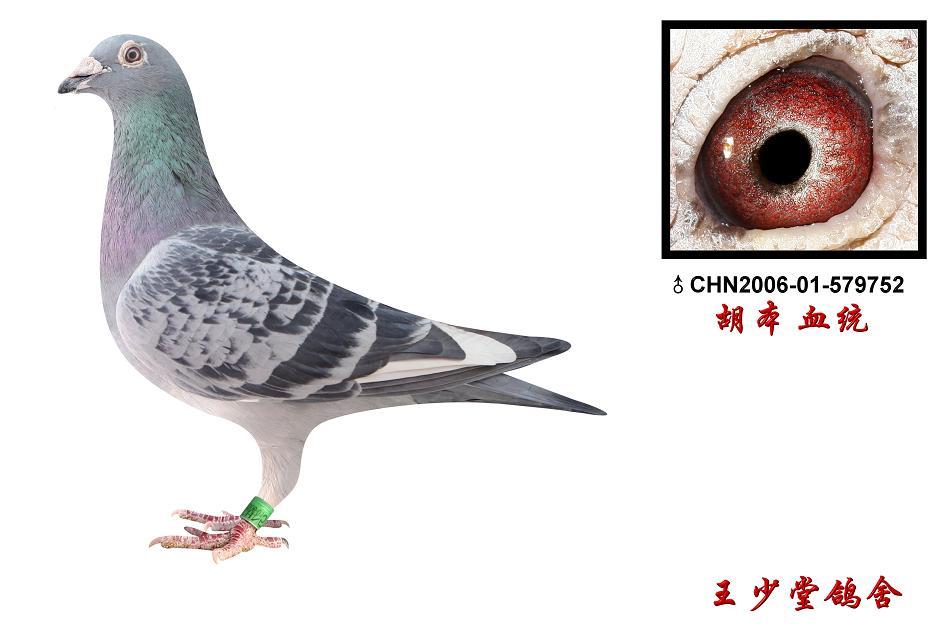 胡本鸽子的特点和-信鸽特征-胡本 鸽皇号直子 北京王少堂鸽舍
