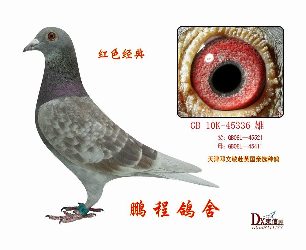 理红色经典  信鸽特征作 出:目  询价详细介绍感谢天津邓文敏老师