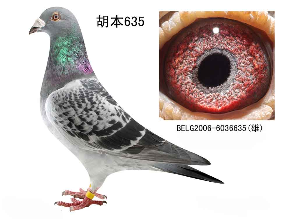 胡本石板信鸽图片图片大全 戈马利 胡本 信鸽商城 中国