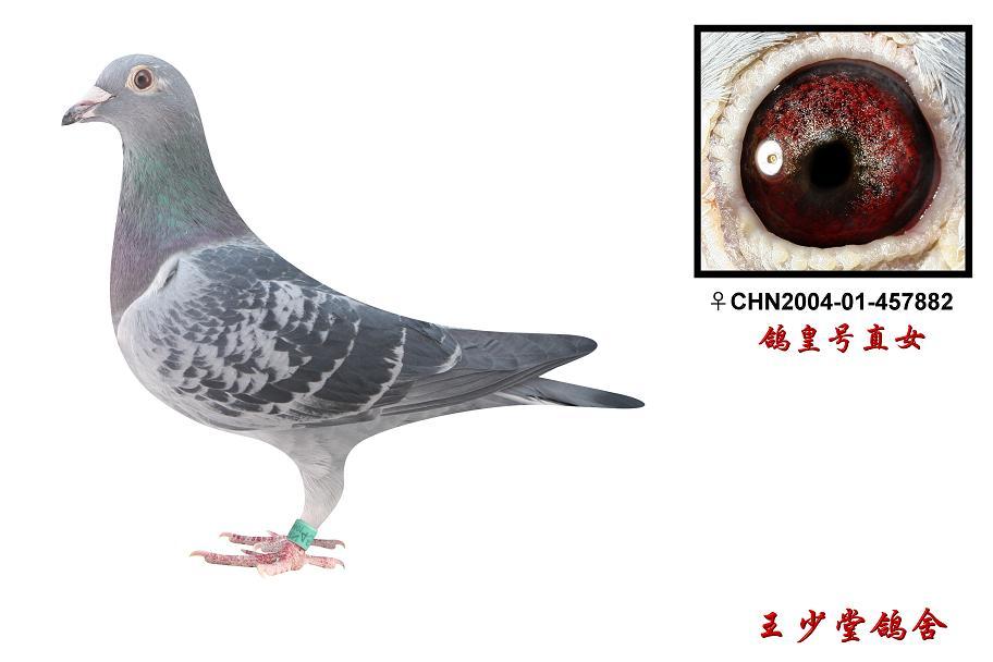 胡本鸽子的特点和-信鸽特征-胡本 鸽皇号直女 北京王少堂鸽舍