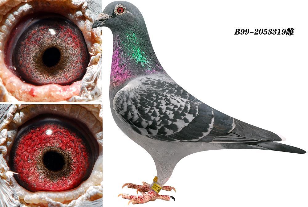 胡本鸽子的特点和-信鸽特征-胡本 鸽皇号妹 北京王少堂鸽舍