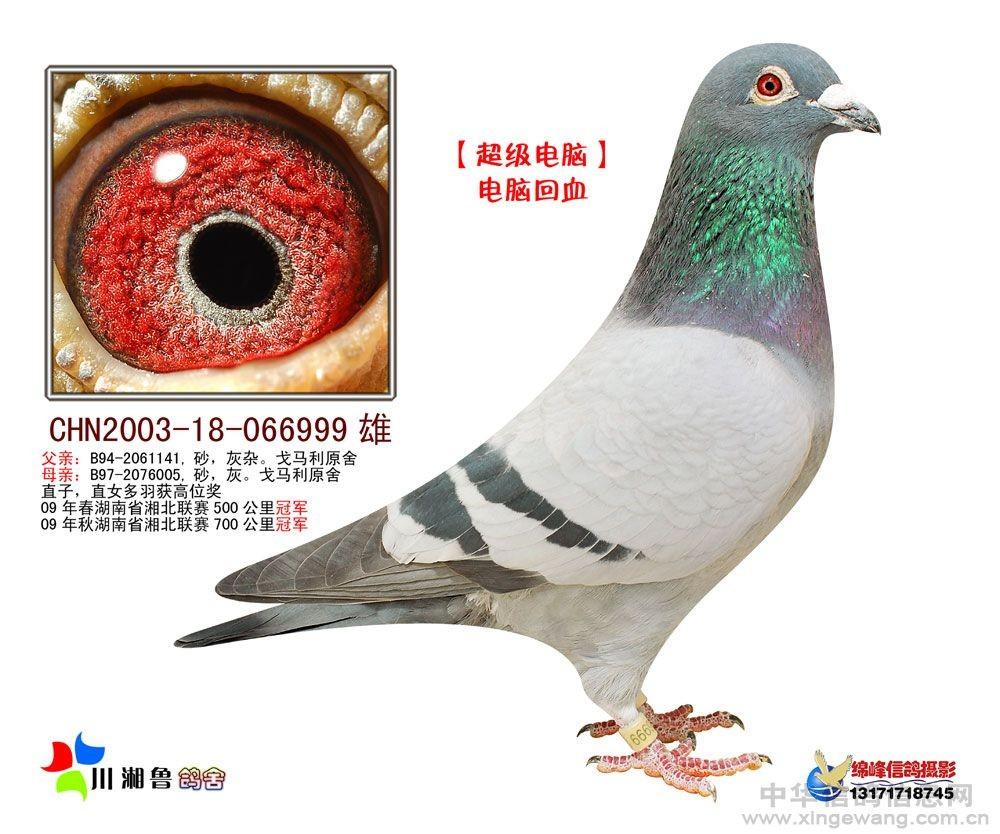 信鸽特征-超级电脑 川湘鲁鸽舍