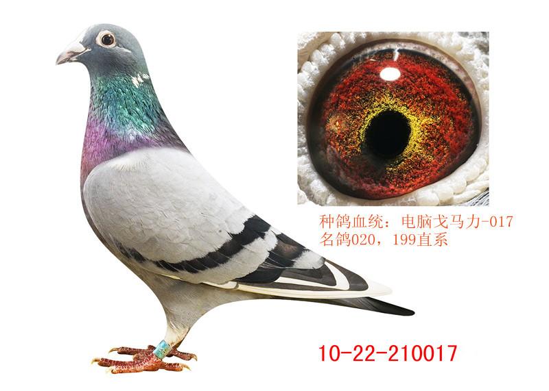 信鸽特征-电脑 戈马力017 酒城赛鸽竞翔联盟
